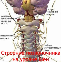 Строение позвоночника на уровне шеи