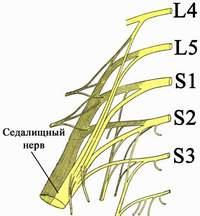 Строение седалищного нерва